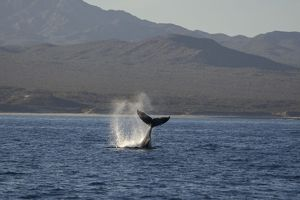 Humpback Whale - fluking