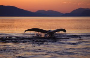 Humpback Whale - tail at sunset