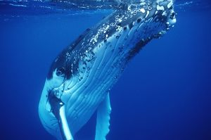Humpback WHALE - underwater
