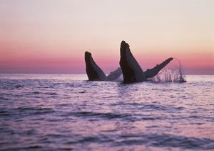 HUMPBACK WHALES - Breaching at sunset