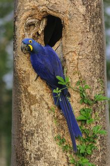 Hyacinth Macaw, in the nest, Pantanal Wetlands