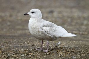 Iceland Gull - 2nd winter - vagrant