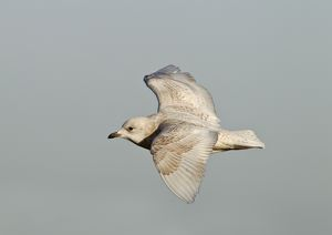 Iceland Gull - 2nd winter - vagrant in flight