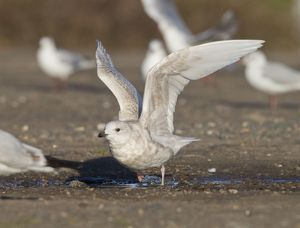 Iceland Gull - 2nd winter - vagrant taking off