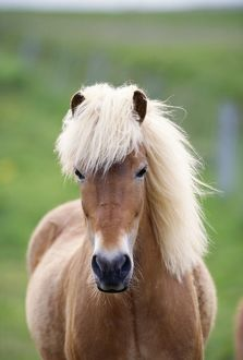 ICELANDIC HORSE - close-up, facing