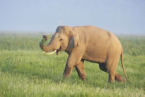 Indian / Asian Elephant displaying the grass