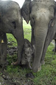 Indian / Asian Elephant - mother, 'auntie' and calf 3 days old domestic animals