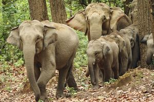 Indian / Asian Elephants coming out of Sal forest,