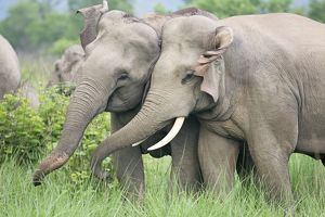 Indian / Asian Elephants courting