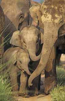 Indian / Asian Elephants - young communicating with adult