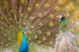 Indian Peafowl adult female with male courtship