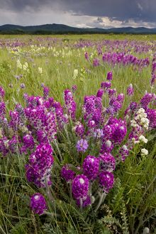 Intensely flowery mid-altitude prairie grassland, with Showy locoweed and Mountain Locoweed