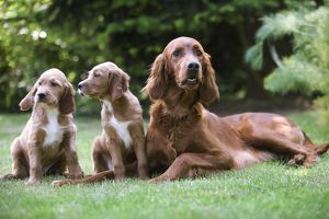 Irish / Red Setter - adult with two puppies