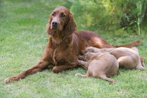 Irish / Red Setter - adult with two puppies suckling
