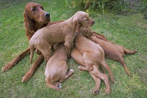 Irish / Red Setter - adult with puppies suckling