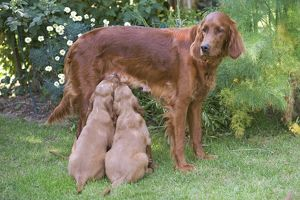 Irish / Red Setter - adult standing with two puppies suckling