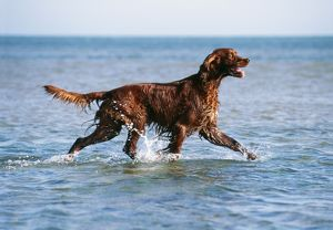 Irish / Red SETTER DOG - walking in the sea