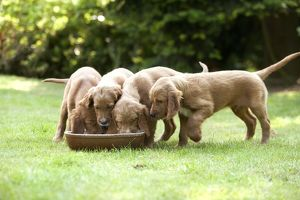 Irish / Red Setter - puppies feeding from bowl