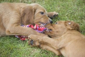 Irish / Red Setter - puppies playing / fighting - tugging on scarf