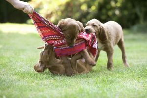 Irish / Red Setter - puppies playing with scarf