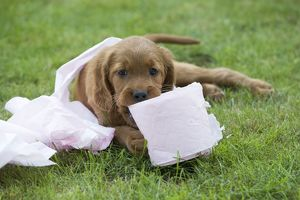 Irish / Red Setter - puppy playing with toilet roll