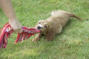 Irish / Red Setter - puppy playing - tugging on scarf
