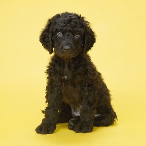 Irish Water Spaniel Dog - puppy
