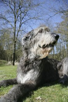 Irish Wolfhound lying in the garden.