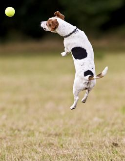 Jack Russell - jumping for ball