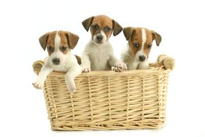 Jack Russell Terrier Dogs - Three puppies in basket
