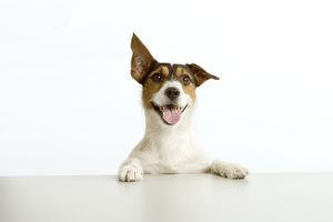 Jack Russell terrier - with front paws on table