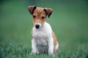 Jack Russell Terrier puppy sitting in garden