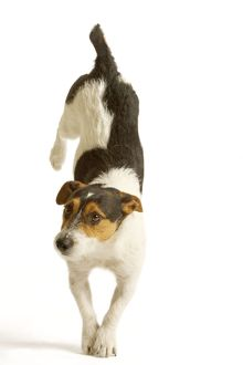 Jack Russell Terrier - standing on front paws