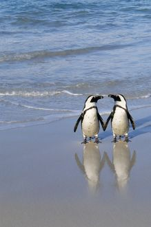 JACKASS PENGUIN - two on beach