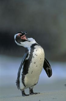 Jackass Penguin - Grooming