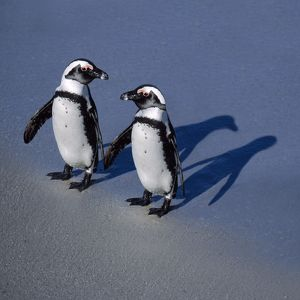 Jackass Penguin -holding hands