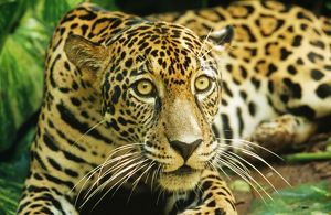 JAGUAR - sitting, looking alert