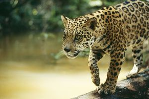 JAGUAR - sub-adult male crossing river on log