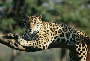 JAGUAR - IN TREE