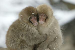 Japanese Macaque Monkey - two huddled together