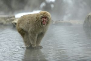 Japanese Macaque Monkey - standing on rock in middle of hot springs