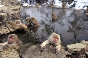 Japanese Macaque Monkeys - relaxing in hot springs