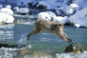 Japanese Macaque / Snow Monkey - Jumping across stream