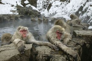 Japanese Macaque / Snow Monkeys