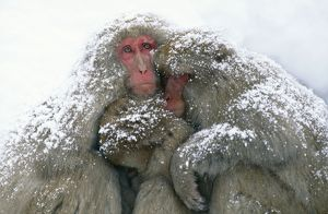 Japanese Macaque - tree in snow