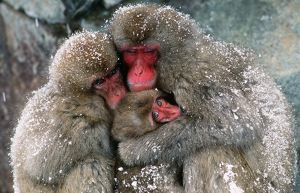 JAPANESE MACAQUE - x three huddling together in snow