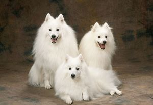 <b>Japanese Spitz</b><br>Selection of 50 items