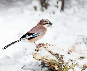 Jay - perched on tree stump in snow