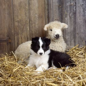 JD-11205 Dog - Border Collie puppy with lamb