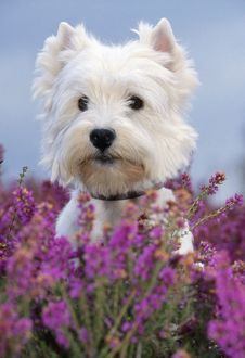 JD-11353 West highland white terrier DOG in heather flowers